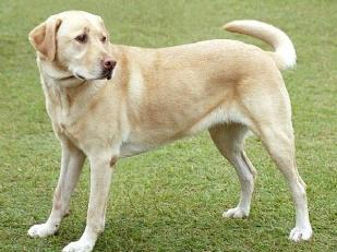 Labrador-salvat15933-piacenza.jpg