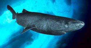 Record di longevità per lo Squalo della Groenlandia. Vive 400 anni