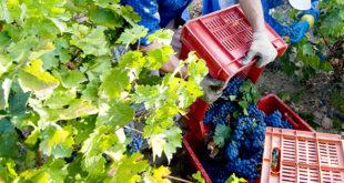 Campagna uva e pomodoro. Sanzioni per 25mila euro per lavoro in nero