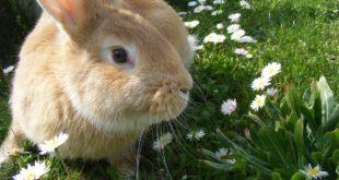 Furto sventato grazie al coniglio domestico. Rapinatore si lancia dal balcone per fuggire