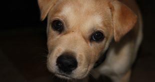 Traffico di cuccioli di cane, perquisizioni anche a Piacenza