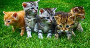 Allergie ai gatti? Un nuovo cibo per gli amici felini potrebbe ridurre la risposta allergica