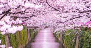 In Giappone la fioritura dei ciliegi arriva in anticipo